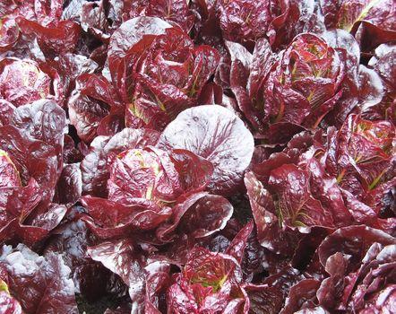 Organic growing  veg