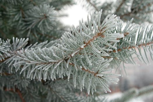 branch of fir, covered with hoar-frost macro shot