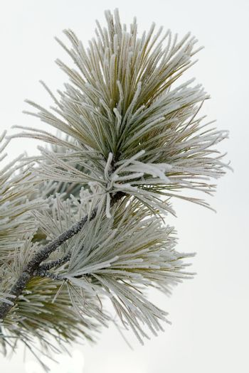 branch of pine, covered with hoar-frost