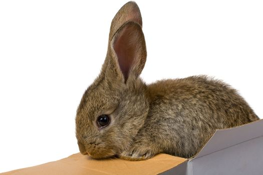 close-up gray rabbit climbing out from the box as a gift macro, isolated on white