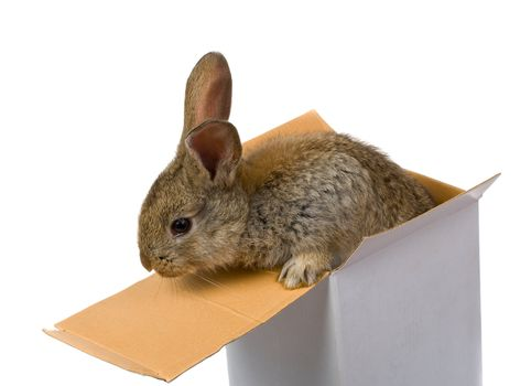 close-up gray rabbit climbing out from the box as a gift, isolated on white