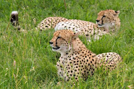 Two cheetahs (acinonyx jubatus) laying down on grass. Massai Mara, Kenya