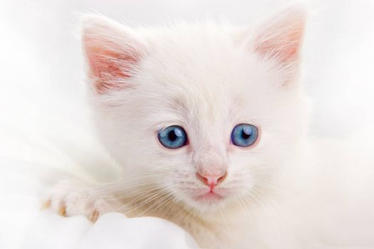 Adorable white kitten with blue eyes. High key.