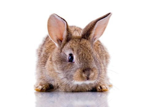 Cute bunny looking at the camera. Isolated on white with reflection.