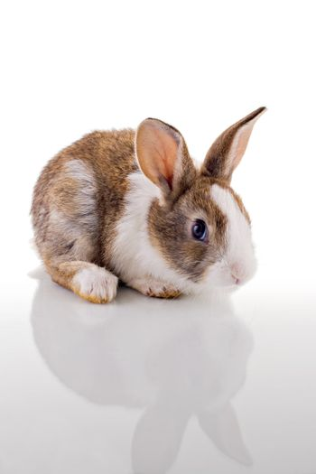 Cute bunny with curious look, looking at the camera. Isolated on white with reflection.