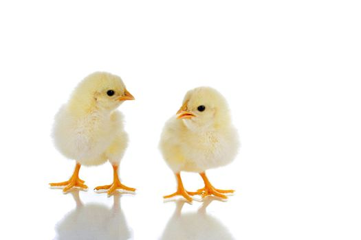 Photo of two cute baby chicks, with reflection, over white background
