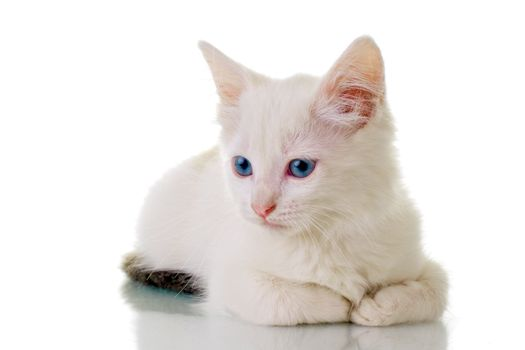 Adorable white kitten with blue eyes, laying down.