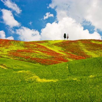 Landscape : Cypress trees on red flowered field. Val D'Orcia, Tuscany, Italy