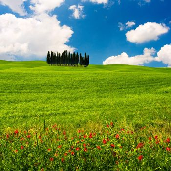 Landscape : Cypress trees on flowered field. Val D'Orcia, Tuscany, Italy