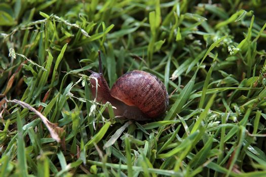 close up of a snail making its way in the grass