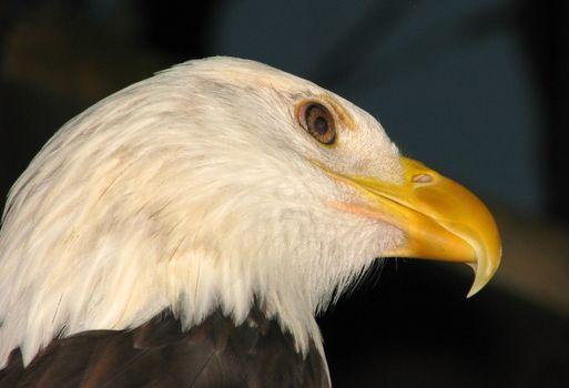 Bald eagle national bird of the USA.