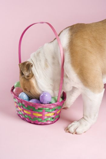 English Bulldog with face buried in Easter basket on pink background.