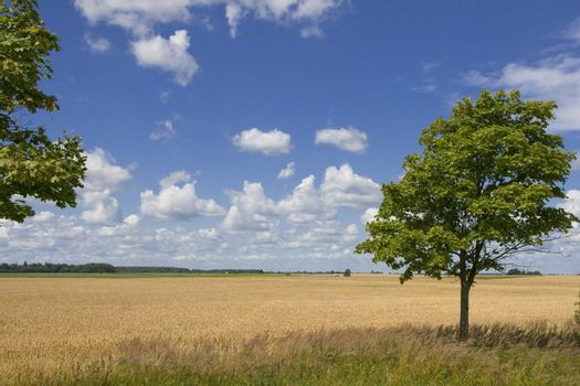 Lonely tree on background golden wheat field and blue cloudy sky