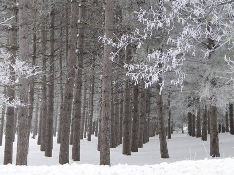 Icy morning in beautiful pine forest
