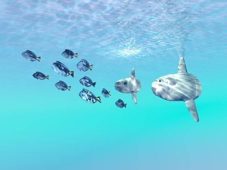 Two large sunfish escort a school of Blue Tango fish in the clear sunlit ocean.
