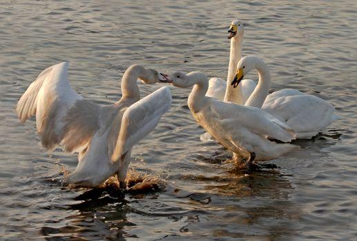 Whooper Swans in Dispute
