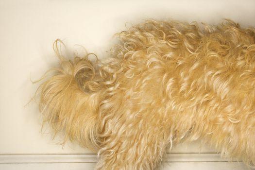 Furry dog.