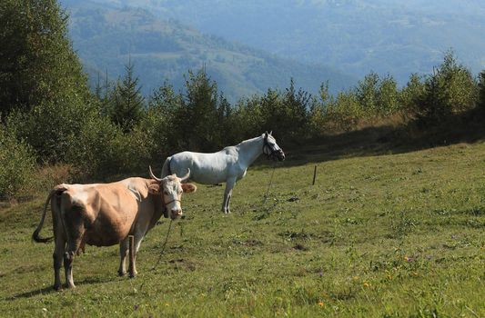 A cow and a horse grazing in a field.
