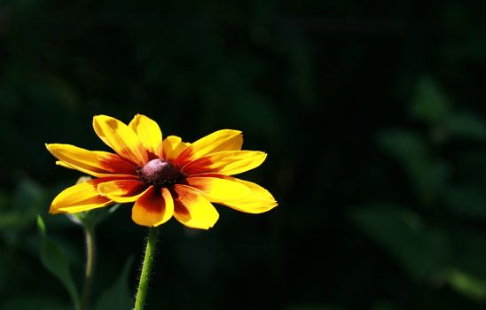 Beautiful bright yellow flower on a dark background