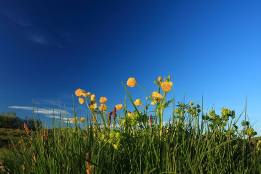 wild yellow flowers against a deep blue sky, intentional minor blurring on some flower caused by breeze. Incredible contrast,