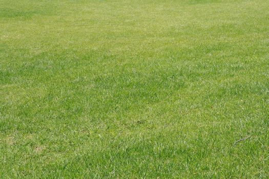 Bright green lawn from a short grass