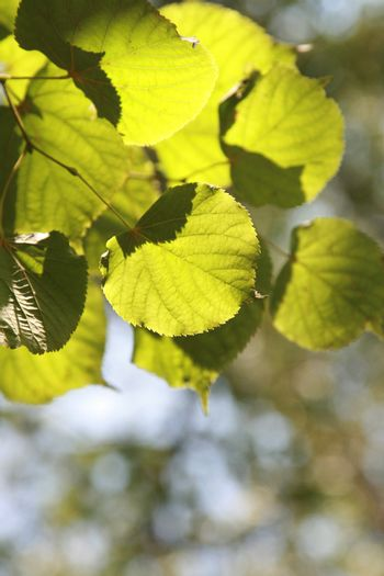 Bright green leaves in sunny summer day
