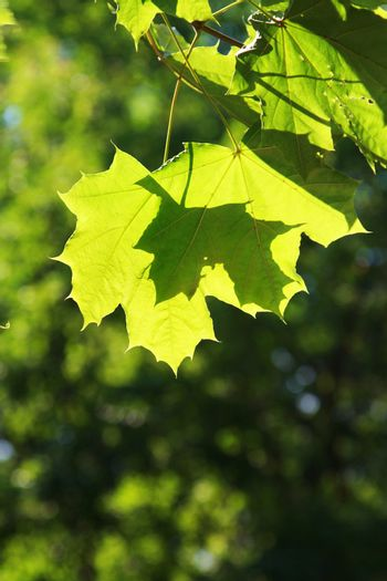 Green maple leaves shined by a sunlight