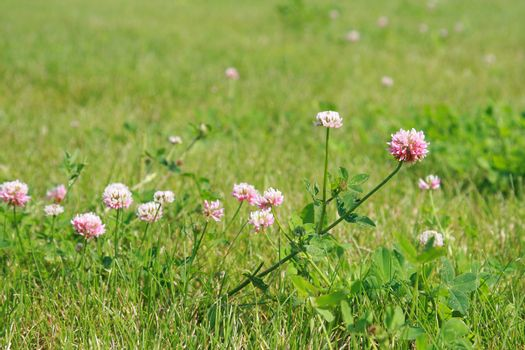 Pink flowers clover on a juicy green lawn