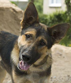 Portrait German Shepherd dog at the garden