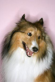 Furry Collie dog.