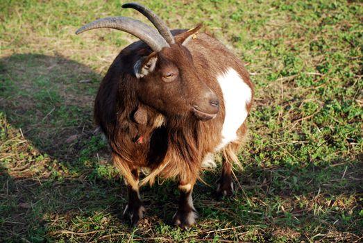 Large Horned Goat