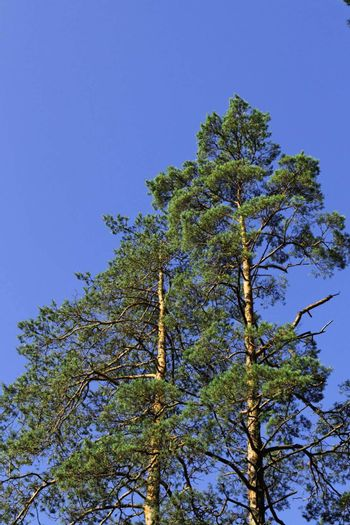 Pines on a background of the blue sky