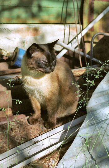 Siamese cat among  building waste