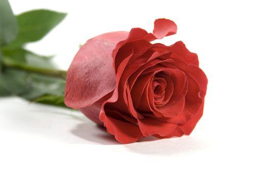 red rose over white backround