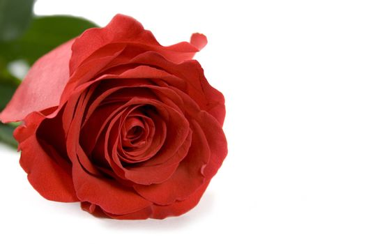 red rose over white background