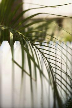 Palm leaf over picket fence.