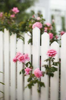 Rose bush over white picket fence.