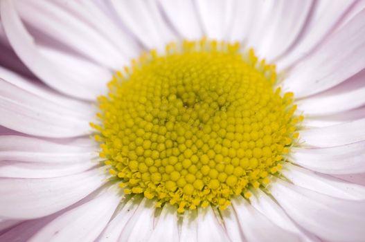 wild daisy macro