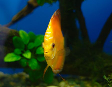 Orange discus fish in tank (close-up photo)