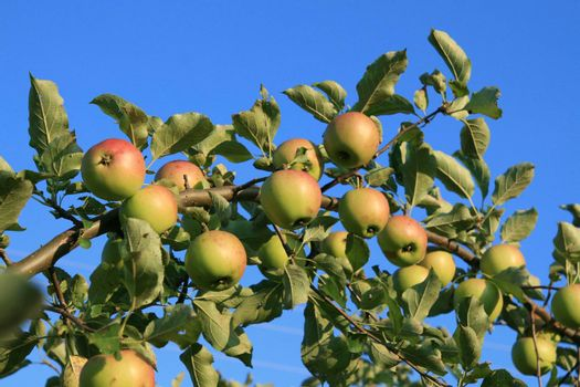 Branch with apple on blue sky background