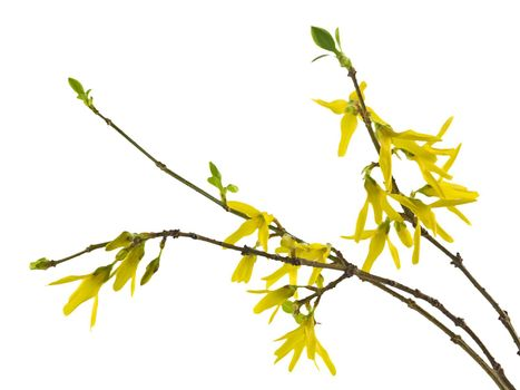 Spring forsythia branch with buds on white background