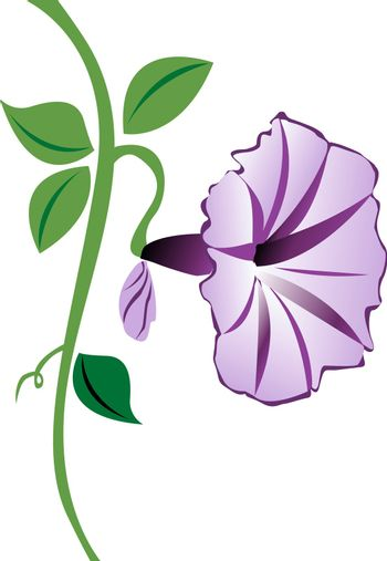 A purple morning glory flower with leaves and a bud.