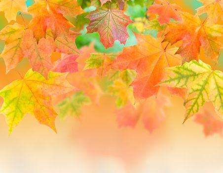 close-up autumn maple leaves
