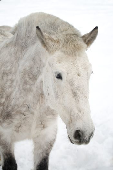 close-up dappled horse