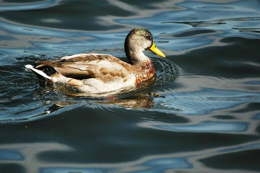 duck floating on the waves of lake