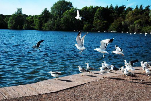 sully lake and many of seagulls, horizontally framed shot