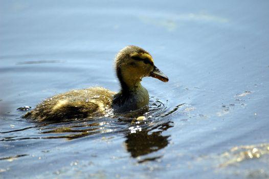 duckling at the blue lake, horizontally framed shot