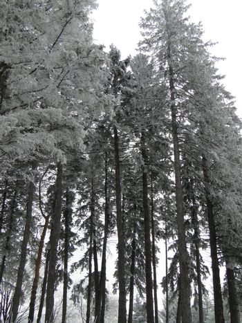 Towering Pines On a Frosty Day