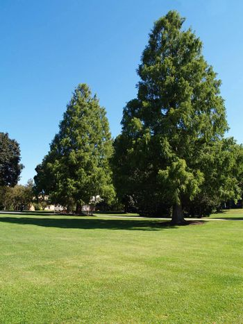 two large evergreen trees by a green lawn