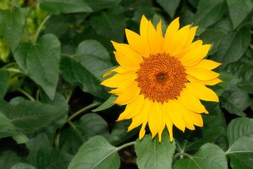 Nature beauty of single sunflower